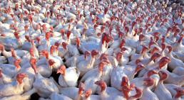 Vogelgrippe uvex Informationsartikel zu Schutzausrüstung gegen Geflügelpest