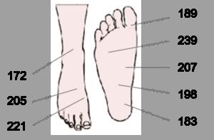 Les pieds contiennent plus de glandes sudoripares que les autres parties du reste du corps.