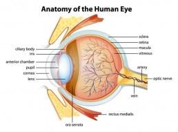 Anatomie des menschlichen Auges